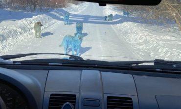 370 km od Moskwy pojawiły się niebieskie psy