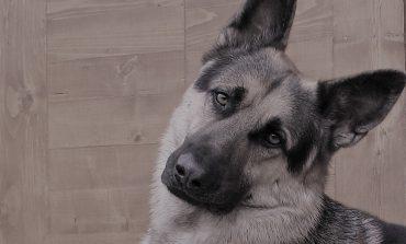 W obwodzie czelabińskim mężczyzna ukradł psa z kliniki weterynaryjnej i zjadł go