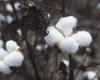 Uzbekistan zatrudnił amerykańską agencję PR by zakończyć bojkot bawełny